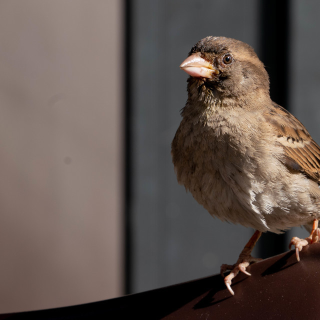 """""""The Watching Sparrow"""" stock image"""