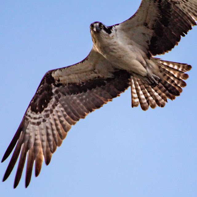"""""""Eye Contact with an Osprey in Flight"""" stock image"""