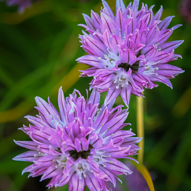 """""""Chive flowers"""" stock image"""