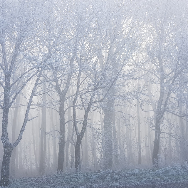 """""""Mist covered trees."""" stock image"""