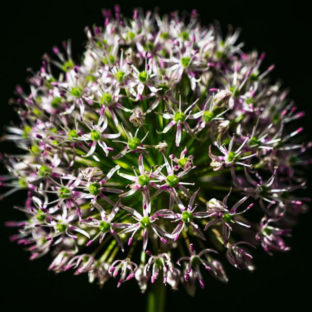 """An Allium head in bloom."" stock image"