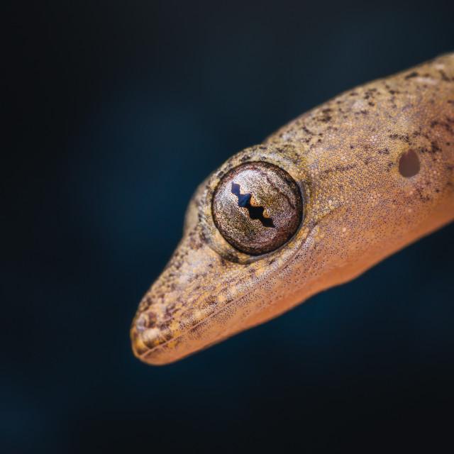 """""""Closeup of a Juvenile Lizard"""" stock image"""