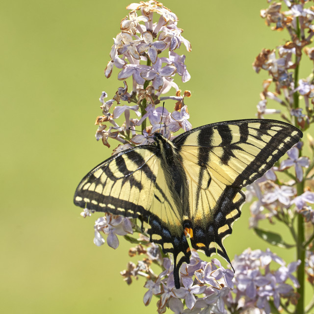 """""""Tiger Swallowtail Butterfly"""" stock image"""
