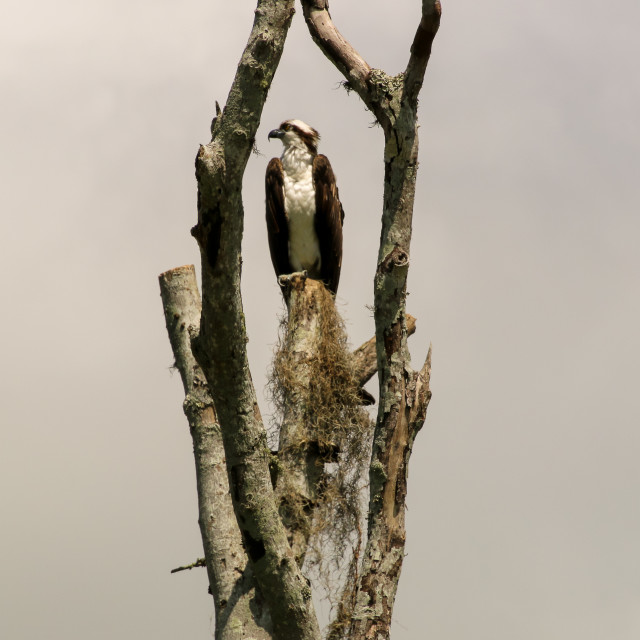 """""""OSPREY CAPTURED IN A TREE FRAME HIGH IN THE SKY"""" stock image"""