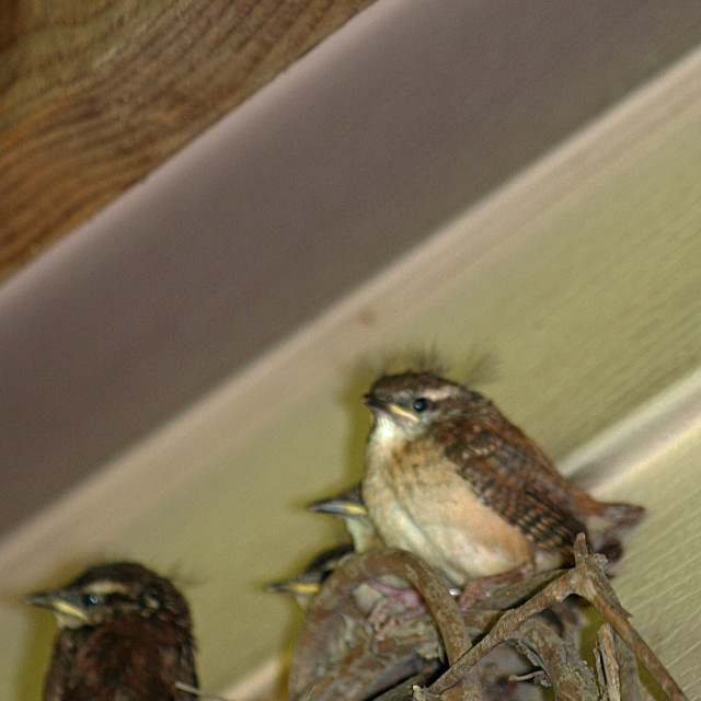 """""""four baby wrens"""" stock image"""