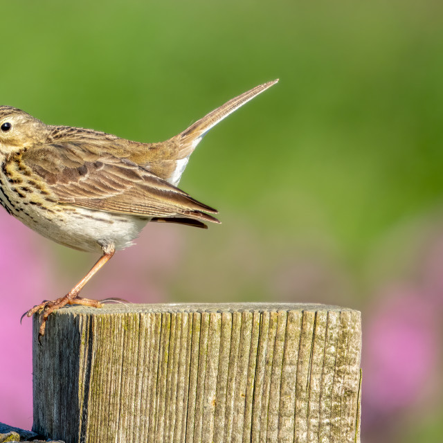 """""""Meadow Pipet."""" stock image"""