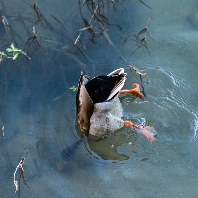 """""""Male mallard diving for food"""" stock image"""