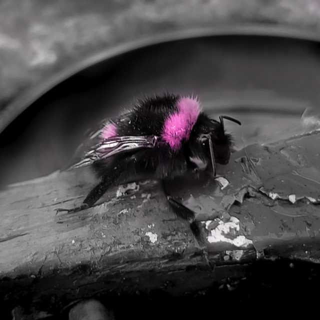 """""""Pink Bee"""" stock image"""