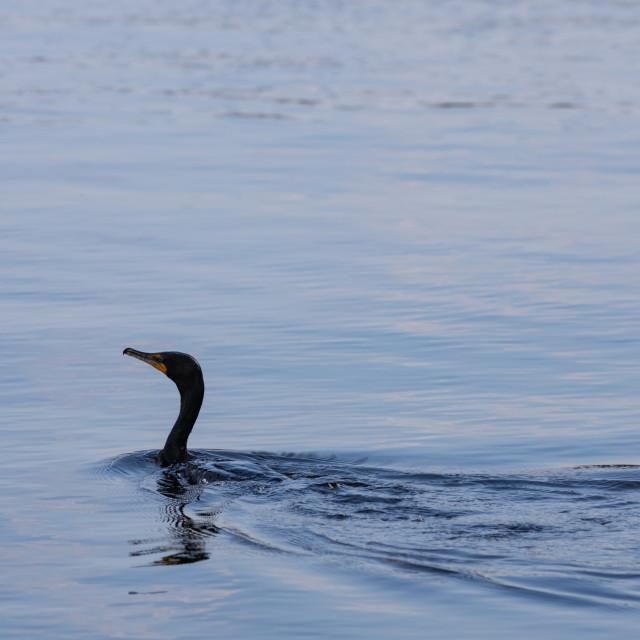 """Cormorant swimming across the water"" stock image"