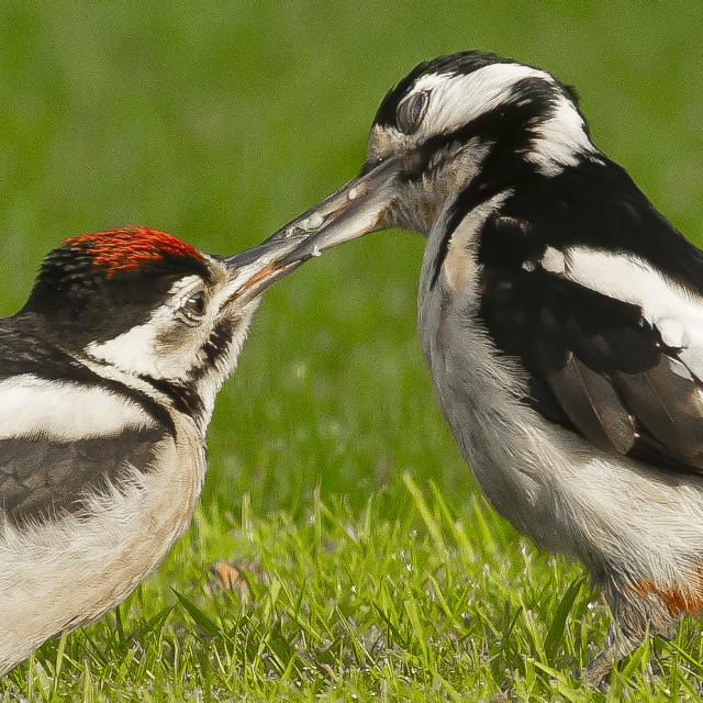"""The Look of Love - Woodpecker Feeding Baby"" stock image"