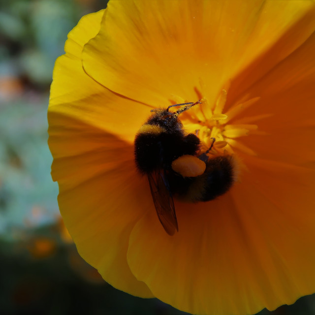 """""""Bee collects pollen from a yellow Californian poppy."""" stock image"""