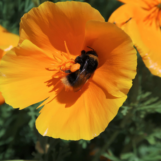 """""""Bee laden with pollen on a Californian poppy."""" stock image"""