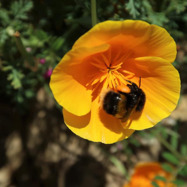 """""""Wild Californian poppy with pollen laden Bee."""" stock image"""