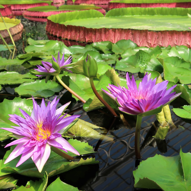 """""""Large water lily plants."""" stock image"""
