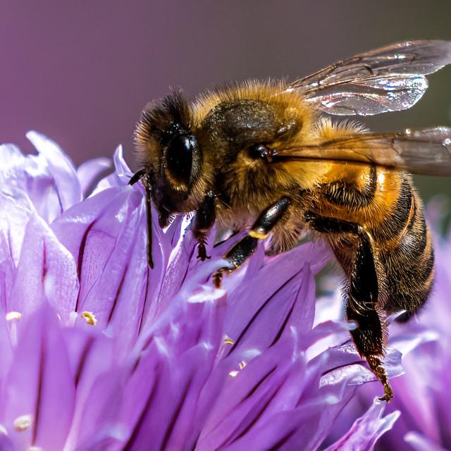 """Honey Bee collecting pollen."" stock image"