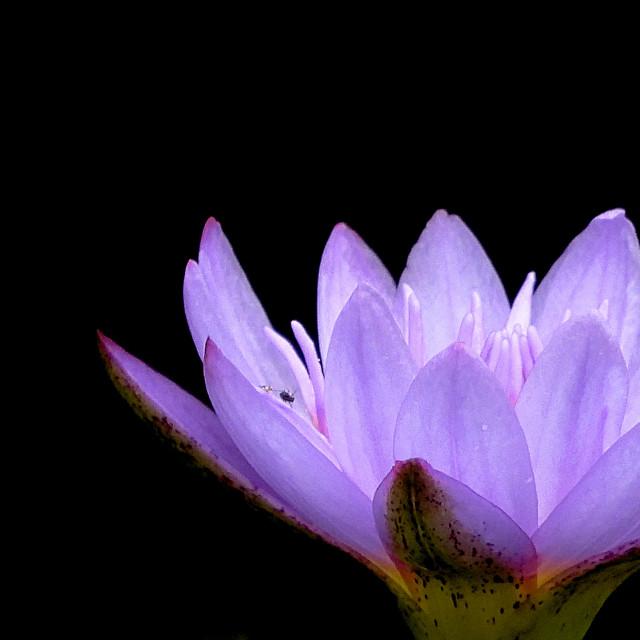 """Silhouette Series - Purple Waterlily"" stock image"