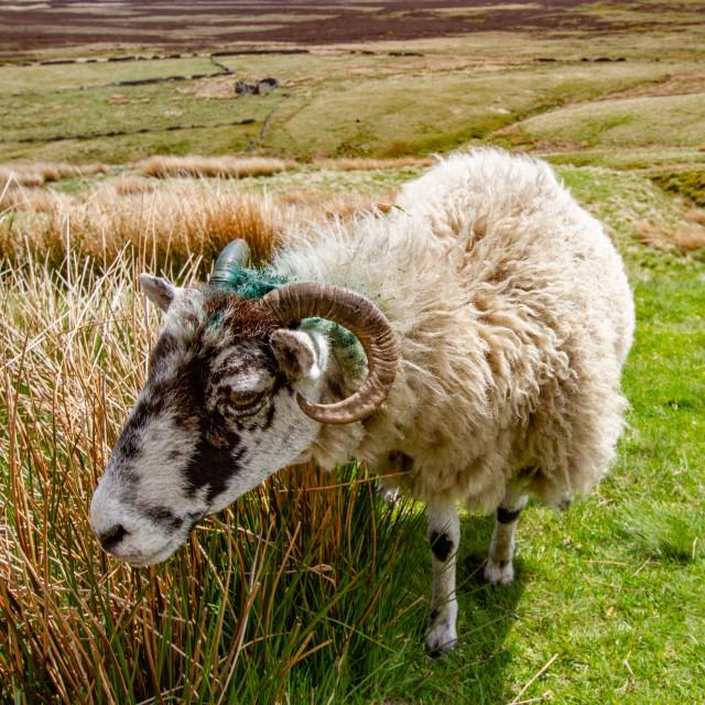 """Swaledale Sheep on Haworth Moor, Bronte Country."" stock image"