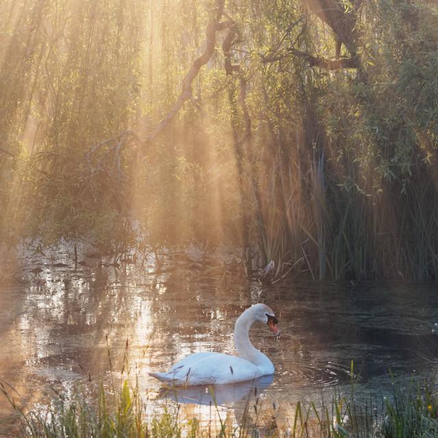 """Swan Light"" stock image"