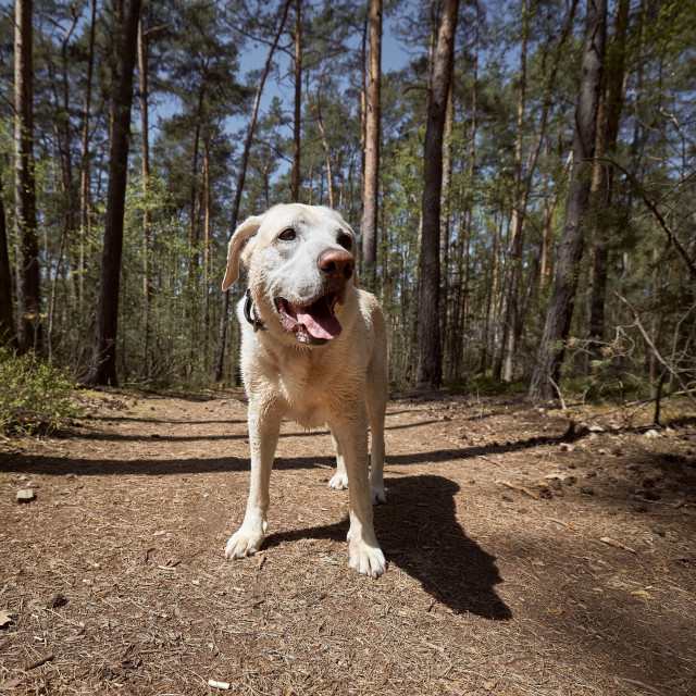 """""""Cheerful dog on footpath in forest"""" stock image"""