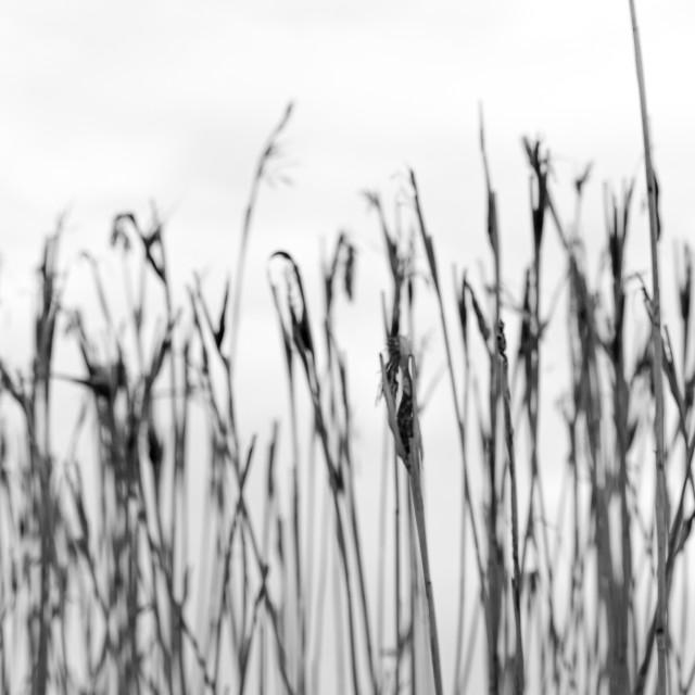 """""""Reeds Landscape"""" stock image"""