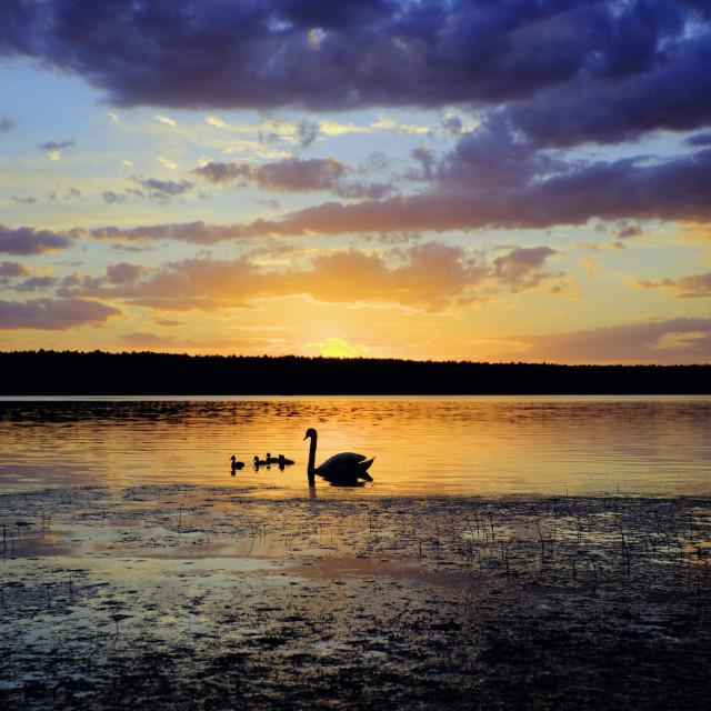 """swans sunset"" stock image"