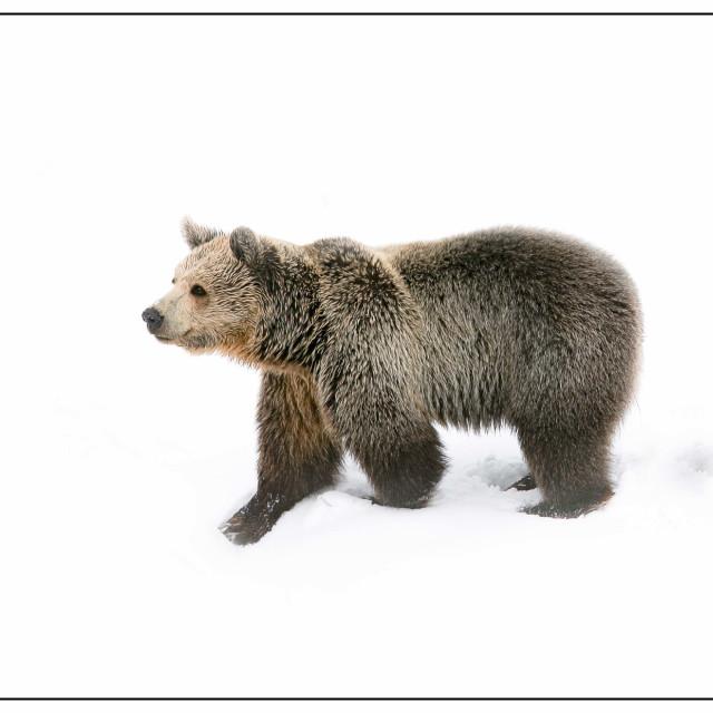 """Bear"" stock image"