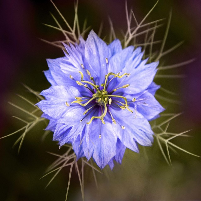 """""""Love in a mist"""" stock image"""
