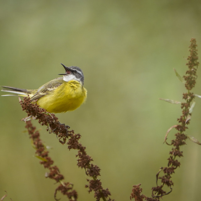 """""""Western Yellow Wagtail, Spanish Wagtail (Motacilla flava iberiae) adult male, perched on dry weed, Andalucia, Spain."""" stock image"""