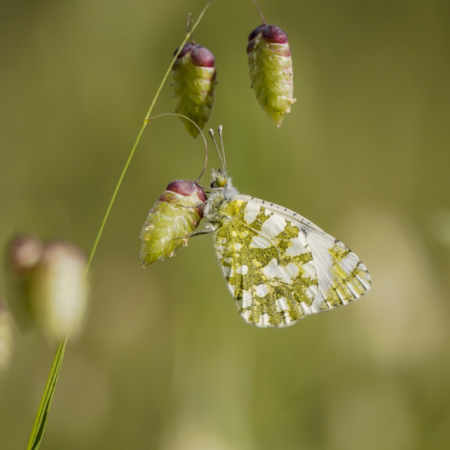 """""""Western dappled white, butterfly"""" stock image"""