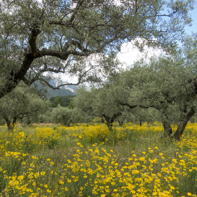 """""""Mountain range with olive orchard in spring"""" stock image"""