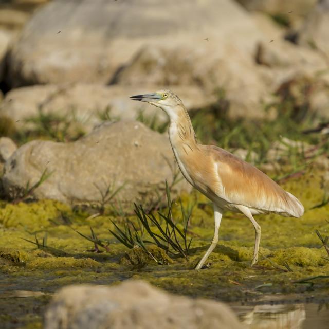 """Squacco Heron, Male, Ardeola ralloides"" stock image"