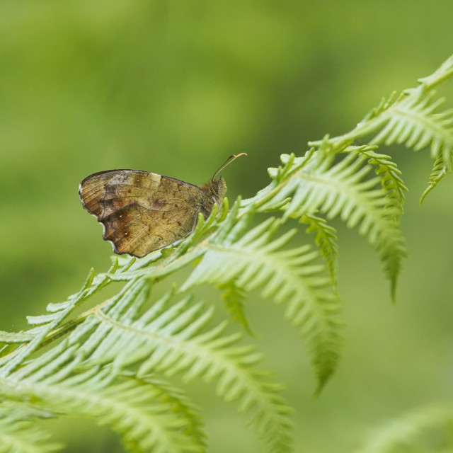 """""""Speckled wood, Pararge aegeria"""" stock image"""