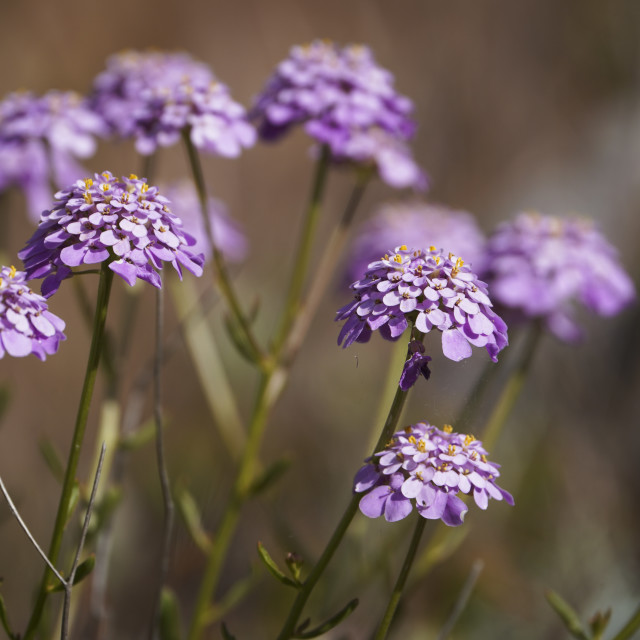 """""""Iberis nazarita, Candytuft plant wildflower growing in the wild, Andalucia, Spain."""" stock image"""