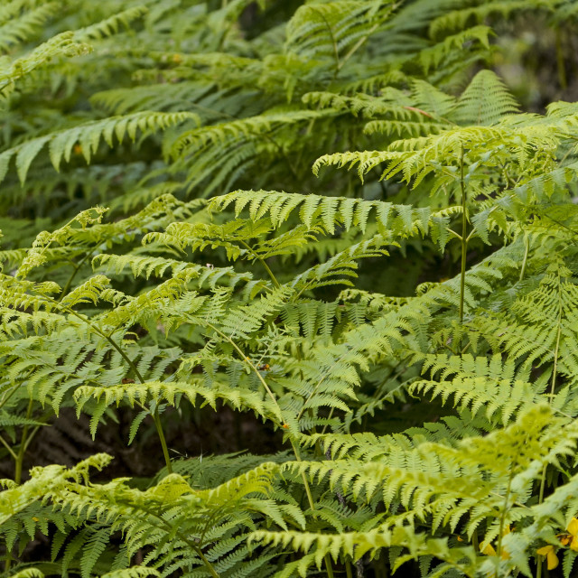 """""""Close up of Eagle fern, Pteridium aquilinum, in spring, Andalusia, Spain."""" stock image"""