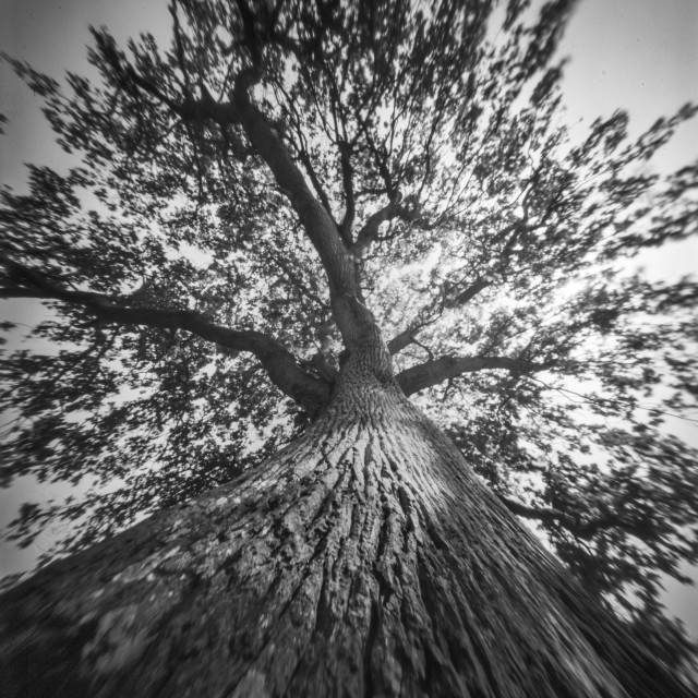"""""""Looking up an old Oak - Pinhole photo"""" stock image"""
