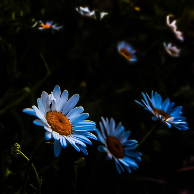 """""""flower-daisy-arizona-sunrise"""" stock image"""