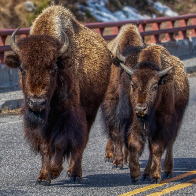 """animal-buffalo-yellowstone-road"" stock image"