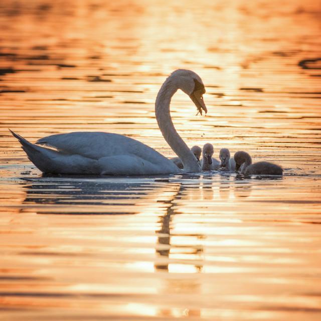 """Swans family sunset"" stock image"