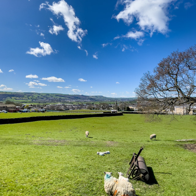 """""""Sheep , Lambs and Land Roller in Field on Sunny Spring Day"""" stock image"""