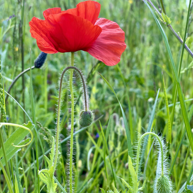 """""""Wild flowers in the spring green grass. A single red poppy swaying in the wind on a sunny day."""" stock image"""