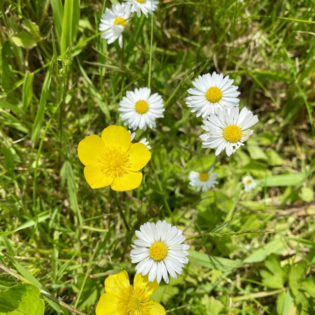 """""""Delicate wild yellow and white flowers in the spring green grass meadow, buttercups & daisies."""" stock image"""