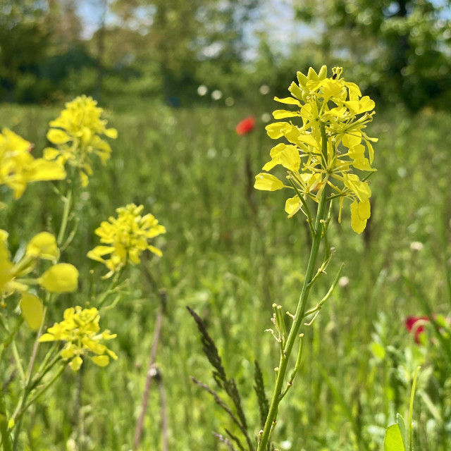 """""""Delicate wild yellow flowers in the spring green grass meadow swaying in the wind on a sunny day."""" stock image"""