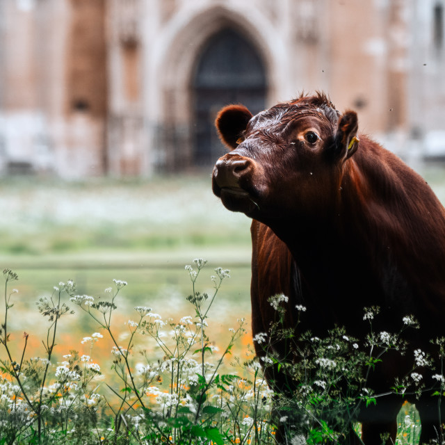 """""""An Inquisitive Cow from the grounds of King's College, University of Cambridge UK."""" stock image"""
