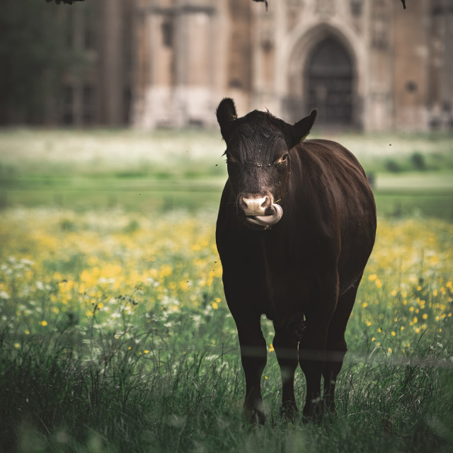"""""""A cow from the grounds of King's College, University of Cambridge UK."""" stock image"""