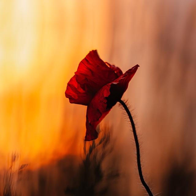 """""""Poppy Sunset, Cambridge UK."""" stock image"""