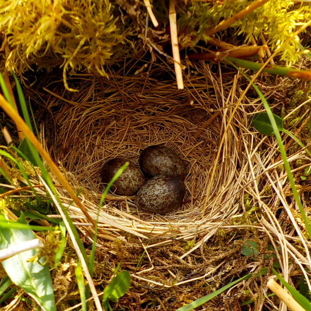 """""""Meadow Pipit eggs"""" stock image"""