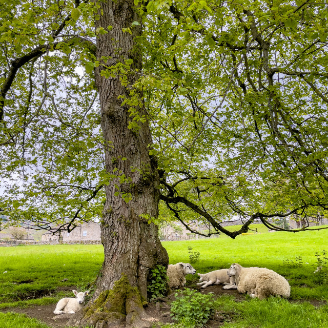 """""""Sheep and Lambs Resting in Shade of Tree. Burnsall, Yorkshire Dales."""" stock image"""