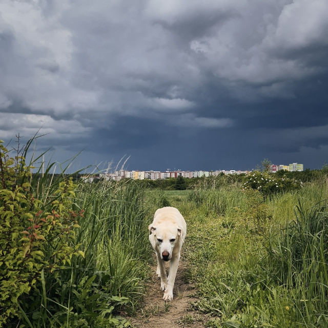 """""""Lonely old dog walking on footpath"""" stock image"""