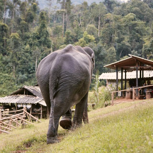 """Elephant walking on footpath to village against rainforest"" stock image"