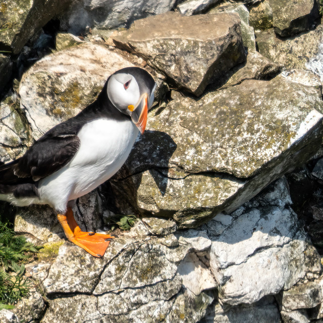 """""""Puffin."""" stock image"""
